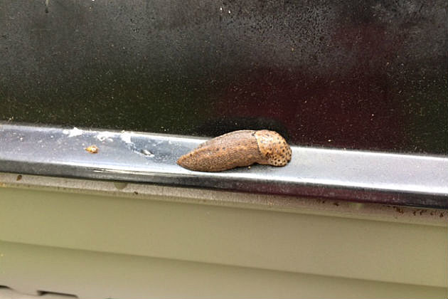 close up of giant slug on grill