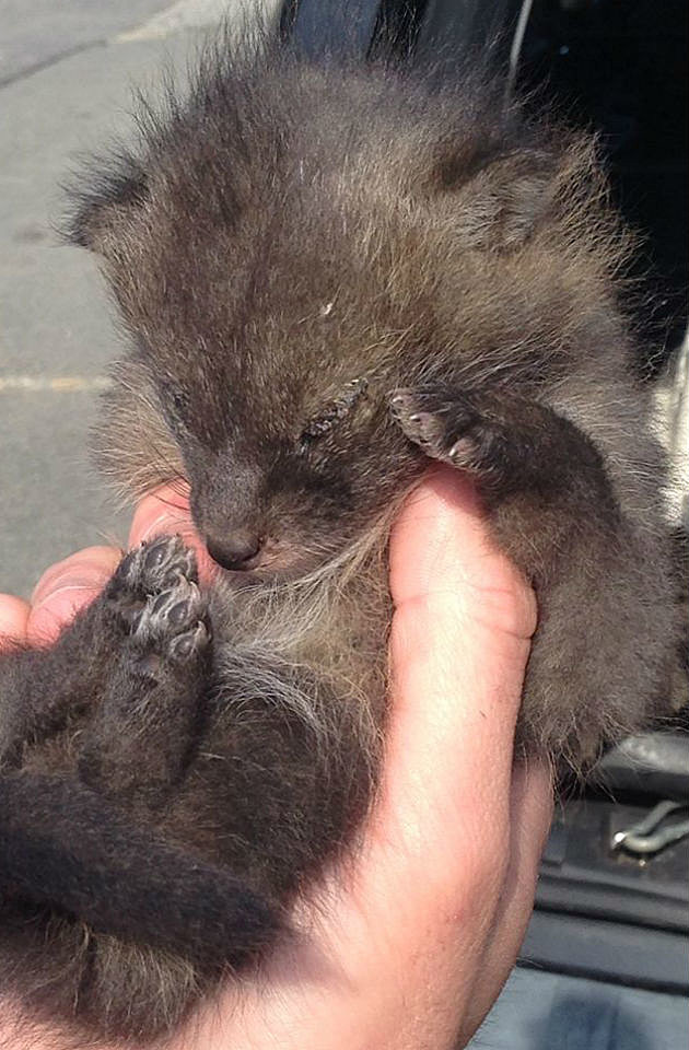 Newborn Coyote Newborn Coyote
